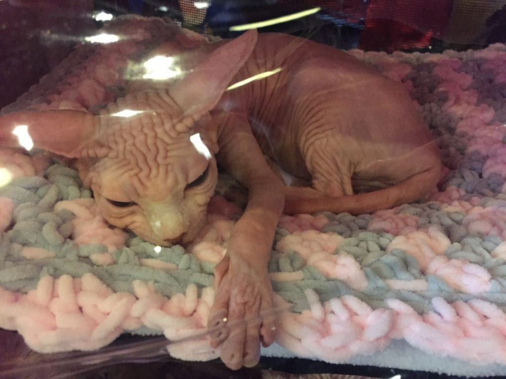 Kočka holá